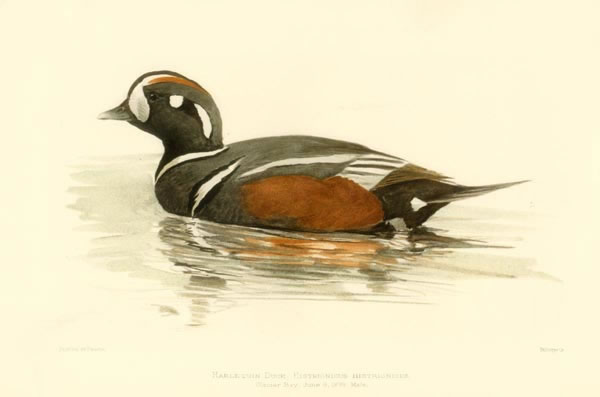 Harlequin Duck, by Louis Fuertes (1874 - 1927)