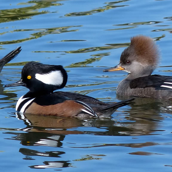 Hooded Mergansers. Photo by Tom Reynolds.